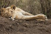 stock photo of lioness  - Resting lioness Masai Mara Republic of Kenya East Africa
