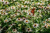 A Beautiful Gulf Fritillary Butterfly on a Sea of Flowers