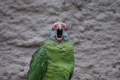 Red-tailed Amazon Parrot - Amazona Brasiliens