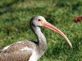 Immature White Ibis on Grass