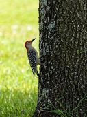 Red-bellied Woodpecker Clinging to Tree