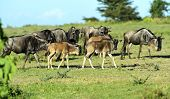 picture of wildebeest  - Wildebeest in Masai Mara National Park - JPG