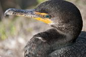 Anhinga Bird Close-up