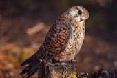 Kestrel sitting on stump in Russian zoo