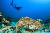 Cuttlefish and scuba diver