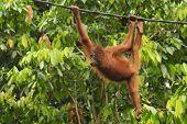 Young Orangutan playing