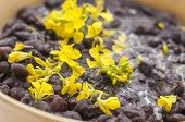 stock photo of phaseolus  - Macro closeup of yellow mustard flowers garnish in bowl of cooked black beans - JPG