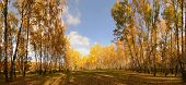 stock photo of birchwood  - Beautiful birchwood in sunny autumn day - JPG
