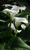 stock photo of calla  - White calla lilies vertical image - JPG