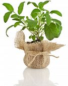 Young fresh sage salvia herb seedling growing in brown pot isolated on white background