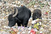 Buffaloes eating garbage in the dumping yard