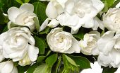 foto of gardenia  - bouquet gardenia plant isolated - JPG