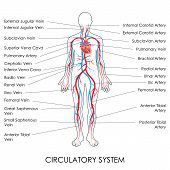 stock photo of cardiovascular  - vector illustration of diagram of Circulatory System - JPG