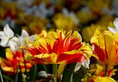 Flower Bed Full Of Colourful Monsella Tulips