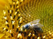 pic of libido  - bee collecting pollen from sunflower - JPG