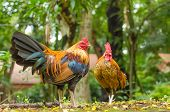 Two Jungle Chicken At The Garden
