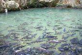 Soro brook carp waterfall fish
