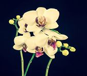 Blooming Branches Beautiful White Orchid Flower (phalaenopsis) With Bud Toned, Closeup
