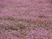 Closeup Of A Pink Buckwheat Field