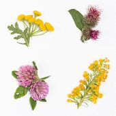 picture of goldenrod  - clover burdock goldenrod Chamomile 