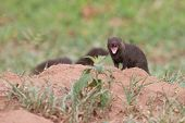 Dwarf Mongoose Forage For Food In Short Grass Showing Teeth