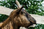 stock photo of goat horns  - Close up of horned farm goat summer day - JPG