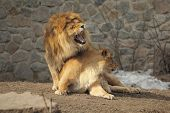 stock photo of animals sex reproduction  - Lion sits on her lioness and growling while she turned - JPG