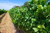 Green Leaves Of A Vineyard