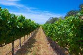 Row Of Green Grapes Vineyard