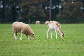 Sheep and Deer eating together