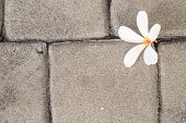 White Plumeria Flower And The Brown Cements Floor