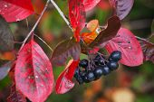 image of chokeberry  - Branch of black chokeberry with black fruits and red autumnal leaves