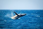 picture of hump  - Hump back Whale breaching in the ocean - JPG