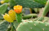 foto of prickly pears  - Closeup shot with orange prickly pear flower - JPG