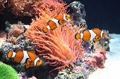foto of clown fish  - Sea anemone and clown fish  - JPG
