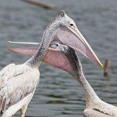 Closeup Spotted-billed Pelecan Bird