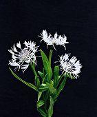 Bouquet Of Three White Cornflowers On A Dark Background