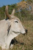 White Bull Head Closeup (I)