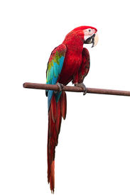 foto of green-winged macaw  - Green-winged Macaw Ara chloropterus red birds isolated on white background with clipping path. ** Note: Visible grain at 100%, best at smaller sizes - JPG