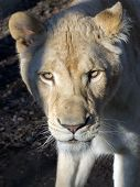 picture of african lion  - White South African lion  - JPG