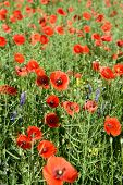 Poppy flowers outdoors