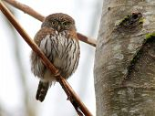 stock photo of owls  - A Northern Pygmy - JPG