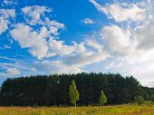 Pine forest on the background of blue sky