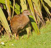 closeup of a Weka, a flightless bird indigenous to New Zealand