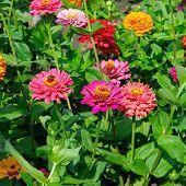 Background Of Beautiful Flowers Zinnias