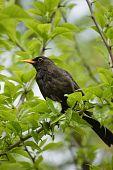 Blackbird on the branch