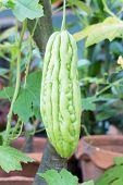 stock photo of bitter melon  - Bitter melon hanging on a vine in garden  - JPG