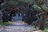 Calvary Avenue Of Trees At Ialyssos