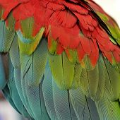 Macaw Parrot Feather
