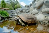 picture of green turtle  - cute green turtle walking on a pond in a farm looking peaceful - JPG